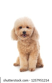 portrait of cute curly-haired poodle looking at camera isolated on white background