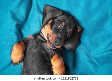 Portrait of cute dachshund puppy lying belly up. Baby is tired of playing all day and is resting, top view. Pose of submission and trust in animals, sign and behavior language.