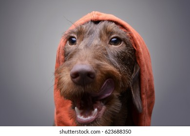 Portrait of a cute Dachshund puppy in orange clothes  - studio shot, isolated on grey.