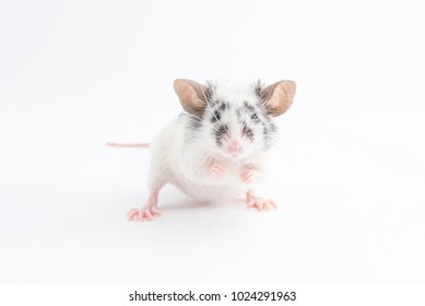 Portrait of cute decorative mouse, on light background