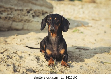 Portrait of a cute dog, the breed of dachshund, black and tan, lies on the beach in summer, the nose is smeared in the sand
