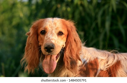 Portrait of a cute dog breed Russian hunting spaniel in nature