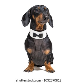 Portrait of cute dog, dachshund, black and tan, wearing  bow tie, isolated on white background.