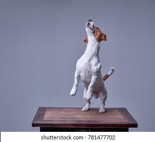 A portrait of a cute dog Jack Russel terrier jumping on hind legs shot in studio on medium format on isolated grey background.