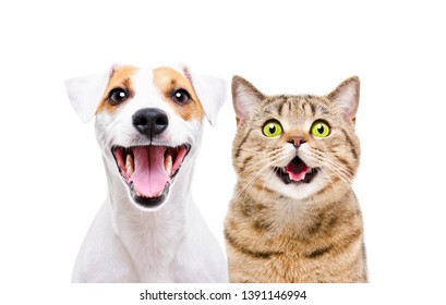Portrait of cute dog Jack Russell Terrier and cheerful cat Scottish Straight isolated on white background