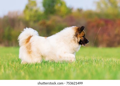 portrait of a cute Elo dog on a meadow