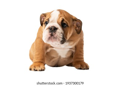 Portrait of cute English bulldog puppy isolated on white background