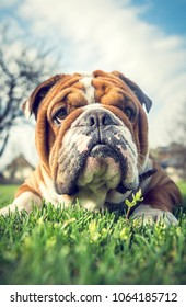 Portrait of cute English bulldog,selective focus