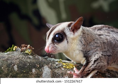 Portrait of a cute female white faced sugar glider (Petaurus breviceps) standing on a branch isolated from the background.