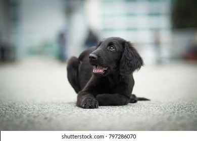 portrait of cute flat coated retriever black puppy