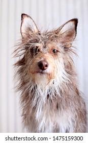 Portrait of a cute fluffy wet dog