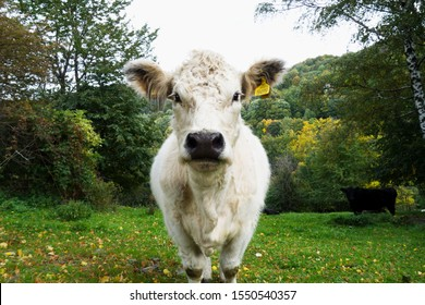 Portrait of a cute fluffy white cow Charolais in a farm in autumn. Beskydy, Czech republic. Charolais is a breed of taurine beef cattle from the Charolais area surrounding Charolles.