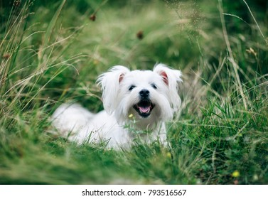 A portrait of cute fluffy white dog on the grass on field