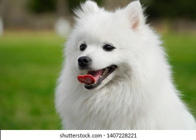 Portrait of cute fluffy white japanese spitz dog sitting on the spring meadow. Happy smiling purebred japanese spitz shot outdoors on green grass background.