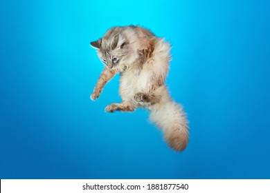 Portrait of cute flying fluffy Siberian colorpoint cat with blue eyes