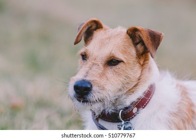 Portrait of a cute fox terrier in autumn