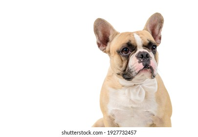 portrait of cute french bulldog wear white bowtie isolated on white background, pets and animal concept.