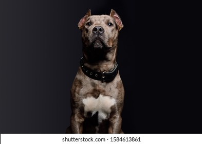 Portrait of a cute funny Pitbull puppy on a black background