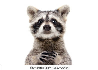 Portrait of a cute funny raccoon, closeup, isolated on a white background - Shutterstock ID 1569920464