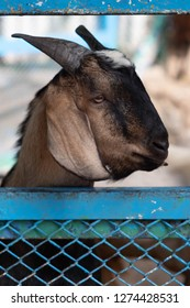 A portrait of a cute goat standing behind the fence. This domestic goat has a funny face. Looks like she is sleepy.