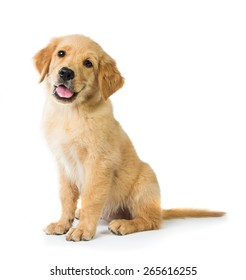 A portrait of a cute Golden Retriever dog sitting on the floor, isolated on white background