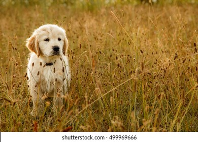 Portrait of a cute Golden Retriever puppy in a field.  Dog outdoors.
