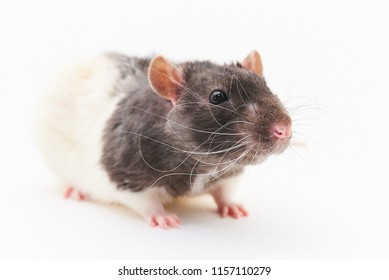 Portrait of a cute, gray decorative rats. On a white background.
