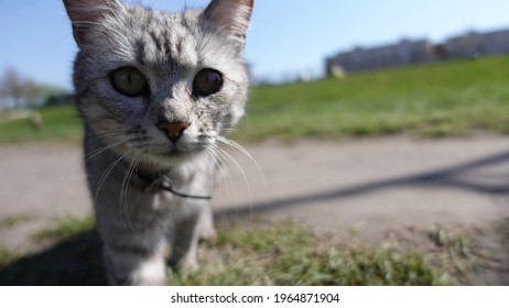A portrait of cute grey cat looking at the camera. Homeless cat lost on a street hungry. Beautiful Cat with collar on his neck. Poor homeless cat looking for food and shelter. Lost animal scared