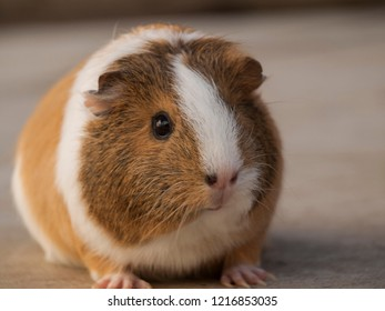 Portrait of cute guinea pig at the nice day