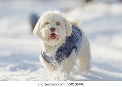 Portrait of cute havanese dog in snow in winter