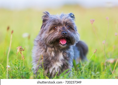 Portrait of a cute Havanese hybrid outdoors