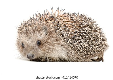 Portrait of a cute hedgehog isolated on white background