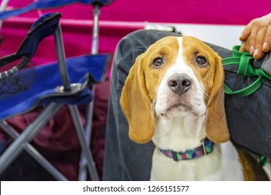 Portrait cute hound dog, attentive hunting doggy. Golden portrait hound on multicolored background. Hound portrait. Pedigree dog.