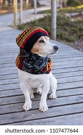 Portrait of cute jack russell dog wearing in knitted beret and scarf sitting on the wooden boardwalk. Season change and care of dog health in the cold season walking concept