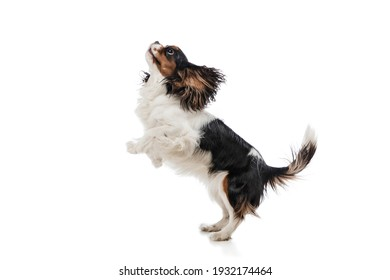 Portrait of cute king charles spaniel dog isolated over white background.