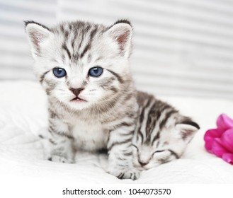 Portrait of a cute kitten. Striped baby kitten