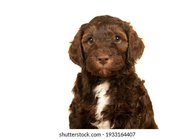Portrait of a cute labradoodle puppy on a white background