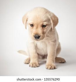 Portrait of a cute labrador retriever puppy