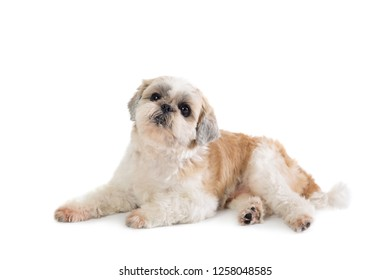 portrait of cute lazy shih tzu dog lying on the floor isolated on white background
