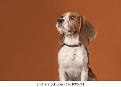 Portrait of cute little beagle puppy sitting on a orange background. Dog looks at left. Copy space