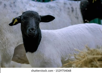 Portrait of cute little black and white lamb at agricultural animal exhibition, small cattle trade show. Farming, agriculture industry, childhood, family, livestock and animal husbandry concept