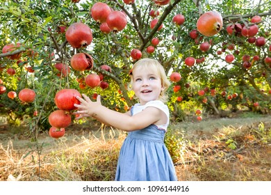 Portrait of cute little blondy baby girl looking at camera and picking ripe pomegrate fruits in the garden. Harvest and family time concept. Sunset light. soft selective focus, space for text