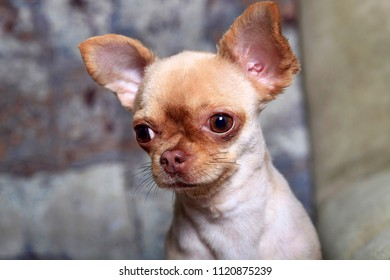 Portrait of a cute little dog Chihuahua