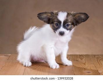 portrait of a cute little puppy Papillon