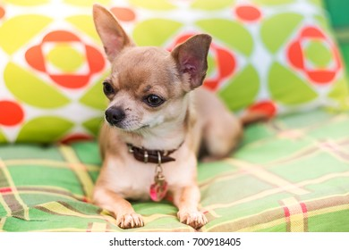 Portrait of cute little short-haired beige Chihuahua on the sofa. Chihuahua lies on the green couch in the garden. Animals concept