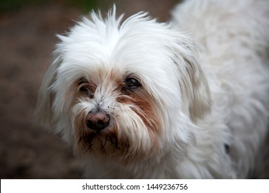 portrait of cute little white fluffy dog outdoors