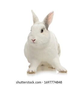 portrait cute little white rabbit on studio background