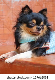 Portrait of cute long haired chihuahua