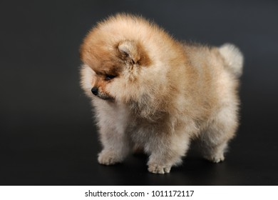 Portrait of cute long-haired red color miniature German Spitz (Pomeranian) puppy on a black background. The puppy is 2,5 months old in the picture.