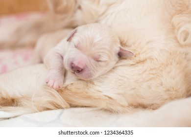 Portrait of cute and lovely Sleeping on mommy's paw white newborn puppy of golden retriever dog